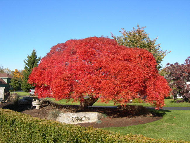 Japanese dwarf bloodgood red maple tree for Maple trees for sale