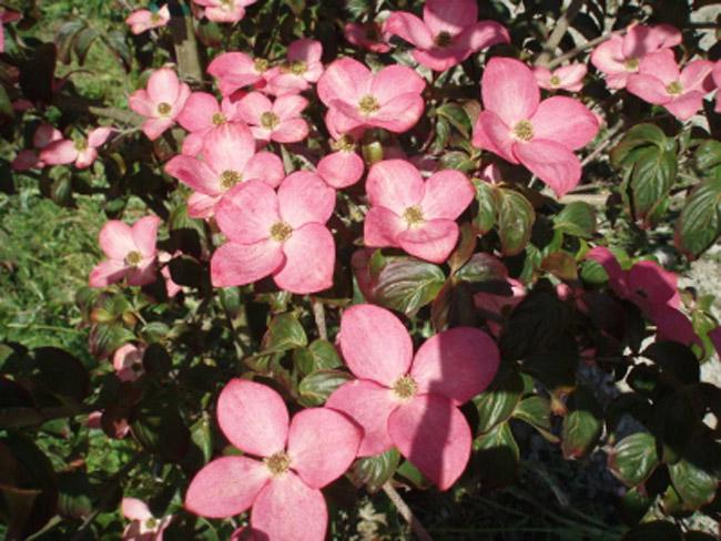 Pink flowering trees identification annesutu pink flowering dogwoods pink flowering trees identification mightylinksfo