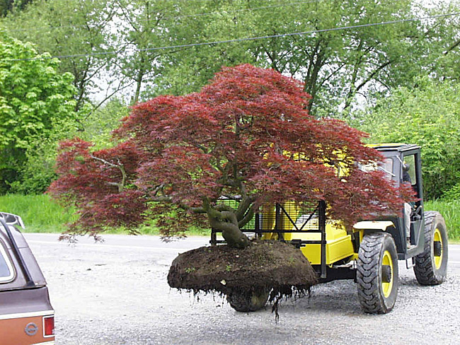 Japanese maple trees for sale dwarf weeping and cutleaf for Maple trees for sale