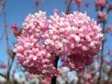 Viburnum bodnantense `Dawn' flower
