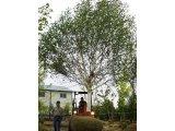 Jaquemontii Birch