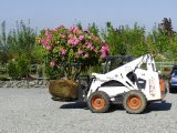 Big Pink Rhody on the Bobcat