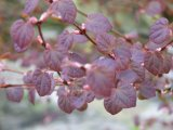 Katsura spring leaf