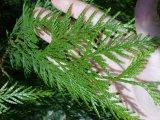 Cedar Foliage