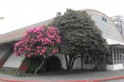 Old Rhododendrons at the old gymnasium