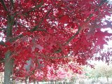 Quercus coccinea fall color 650