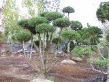 Poodle Pine