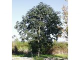 Large Red Horse Chestnut