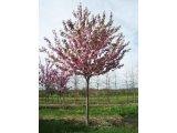 Prunus kwanzan flowering