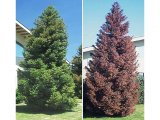 Elegans Japanese Cedar