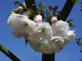 Shogetsu Flower