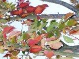 Cherry Kwanzan fall