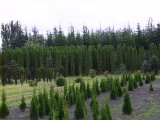 Emerald Pine Field
