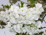 Fuji Blosssoms