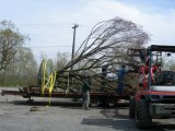 Loading a Big Japanese Maple