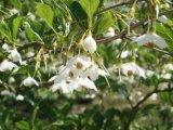 Styrax Flower