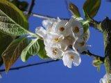 Carolina Silverbell Flower