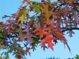 Oak Begins Fall