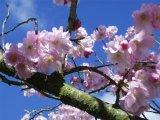 Akebono Flower