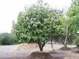 Large Evergreen Magnolia