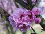Bliriana flower