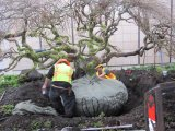 Big Trees crews prepare the large rootball