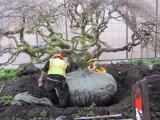 Big Trees crews prepare the large rootball