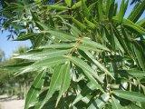 Fraxinus oxy leaf