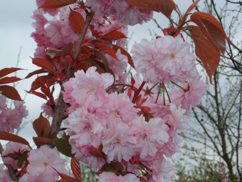 buying flowering cherry trees big tree supply. Black Bedroom Furniture Sets. Home Design Ideas