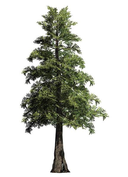 Western Red Cedar Tree ~ Big trees inc transplants foot western red cedar tree