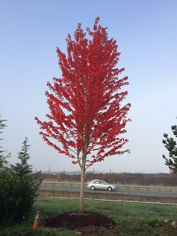 Autumn Blaze Maple Image