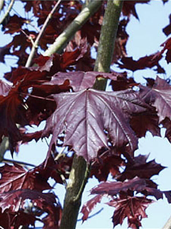 Crimson King Maple Image