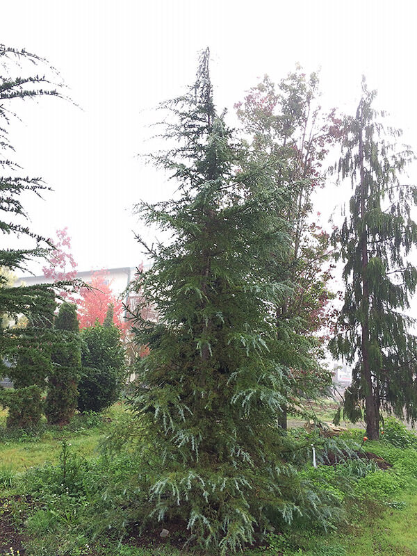 Deodar Cedar Image