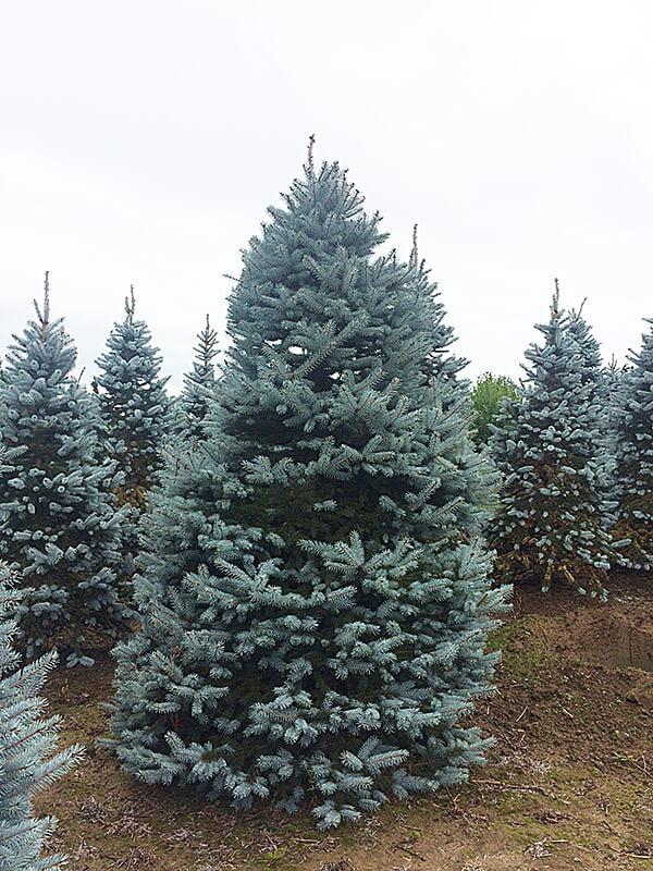 Colorado Blue Spruce Image