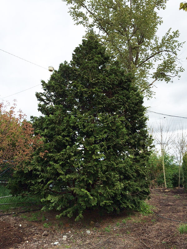 Hinoki Cedar Image