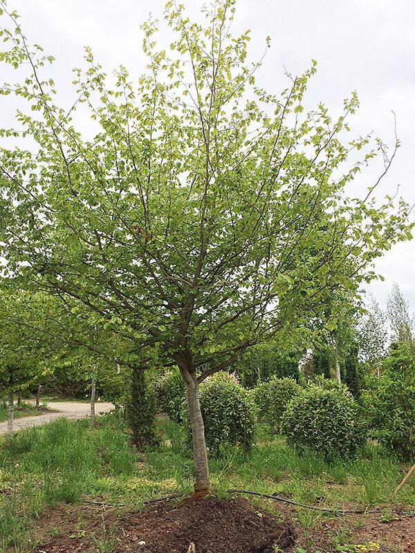 Persian Ironwood Image