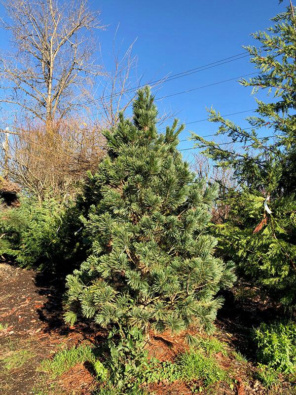 Vanderwolf Pine Image