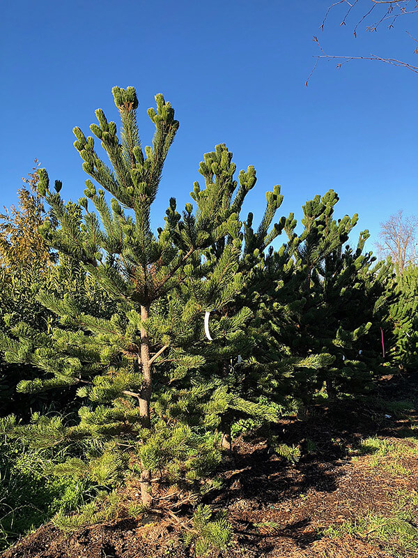 Oregon Green Black Pine Image