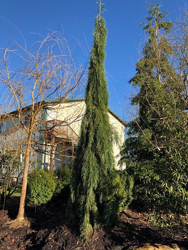 Pendulum Weeping Sequoia Image