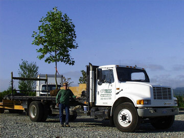 Big Trees Inc. Saves Large Ornamental Trees from a Corporate Campus