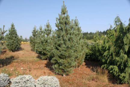 Washington State Pine Trees