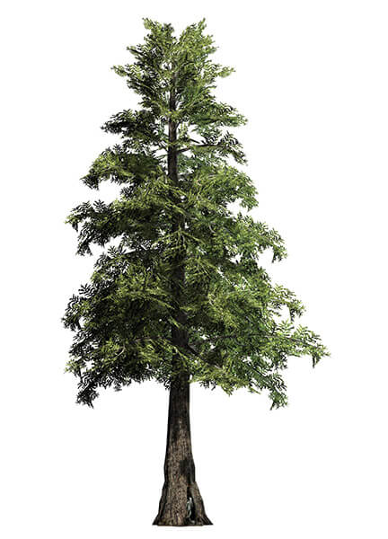 Big Trees Inc. Transplants 30 Foot Western Red Cedar Tree