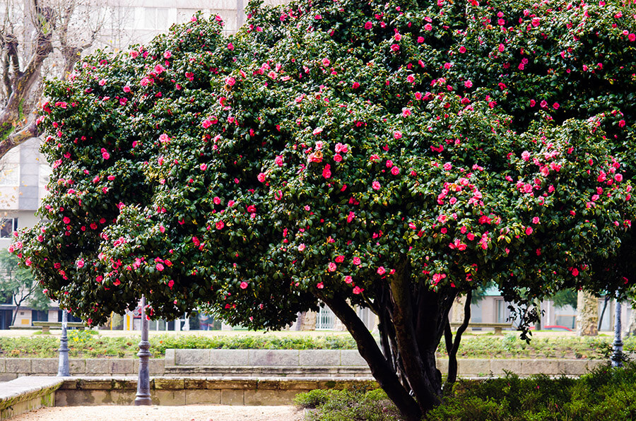 Big Trees Inc. Transplants a Large Camellia Tree