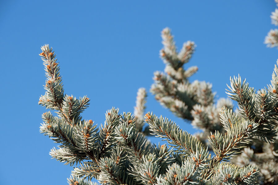 BigTreeSupply.com: Landscaping with Fir Trees