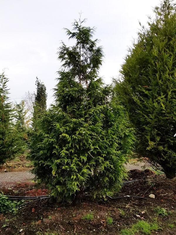 Excelsa Cedar Image