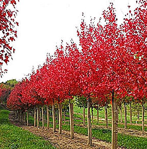 Autumn Flame Maple Image