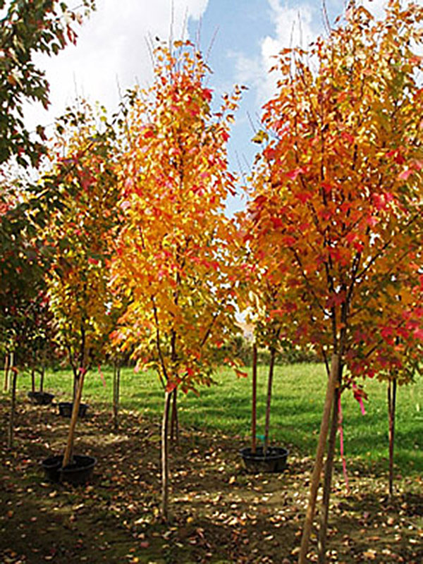 Bowhall Maple Image