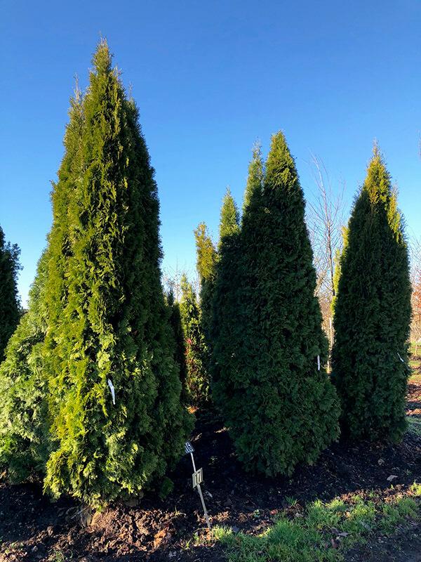 Emerald Green Arborvitae Image