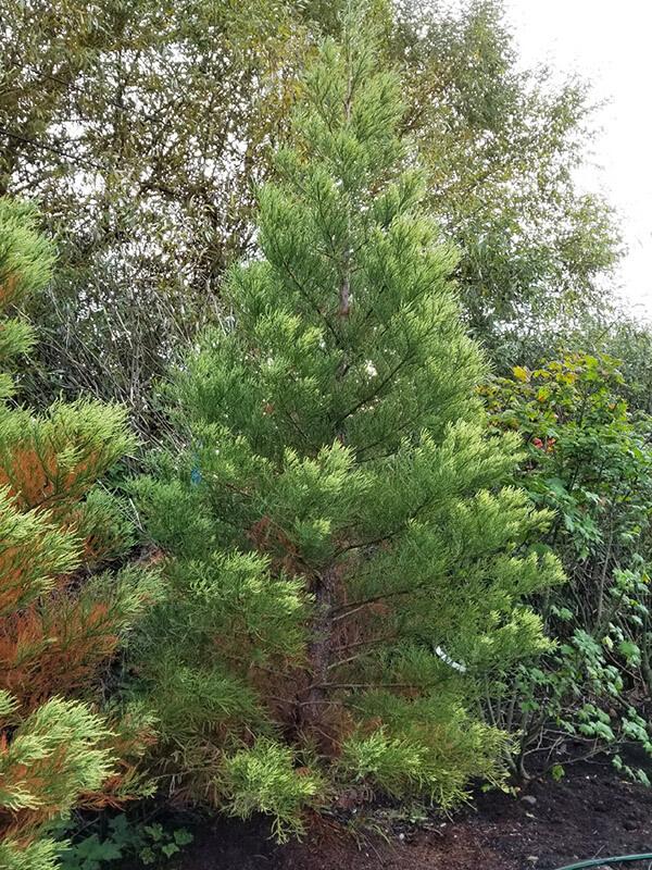 Giant Sequoia Image