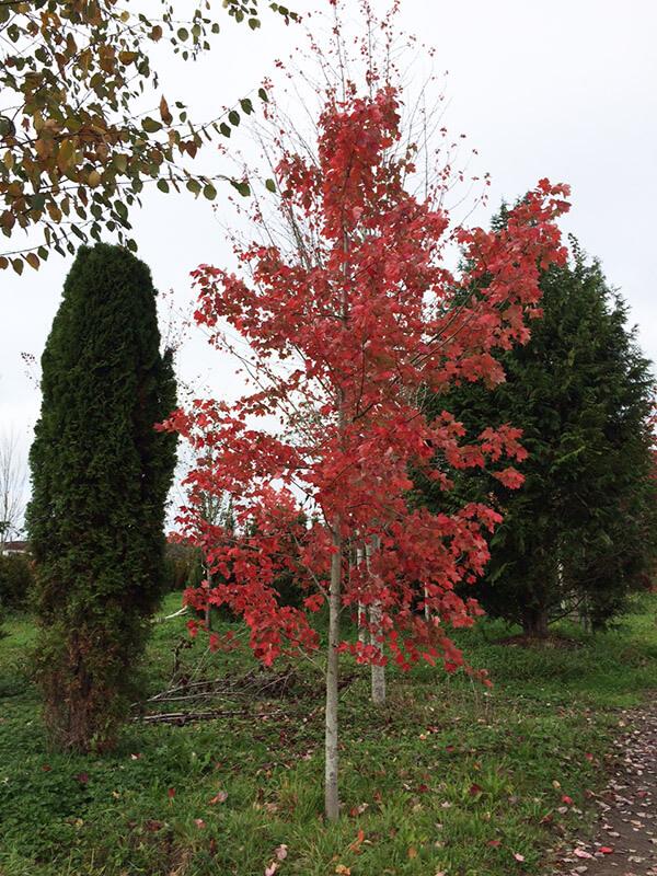 October Glory Maple Image